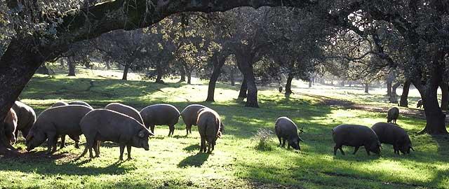 imagen de cerdos de bellota
